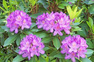 ★Rhododendron (ロードデンドロン、ツツジ)